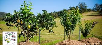Tree Of 40 Fruit  WikipediaFruit Salad Trees Usa
