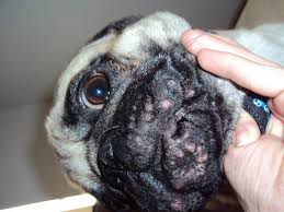 how to get rid of dog acne the natural way