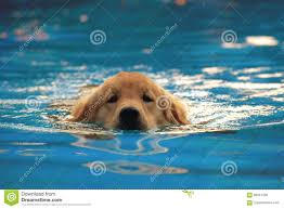 golden retriever puppies swimming. Simple Retriever Golden Retriever Puppy Exercise In Swimming Pool Intended Puppies V