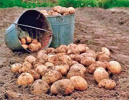 На Житомирщині гарний врожай картоплі