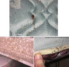 38+ Tiny Mattress Bugs Images