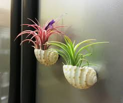 Air Plant Display Air Plant Display Ideas And Care Tips Small Garden Ideas