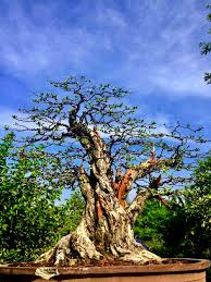 ครูหมึก เซียนบอนไซ เมืองเพชร เด่นด้วย บอนไซเทียนทะเล ต่อซาก - ต้นไม้และสวน
