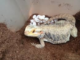 once a female has laid her eggs let her burry them before removing her