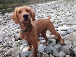 red golden retriever.  Red Rare Red Golden Retriever Puppies  In Red Golden Retriever O