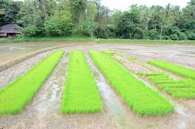 Image result for rice planting