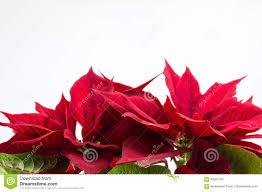 Roter Baum Der Weihnachtsstern Poinsettias Auf Weiß