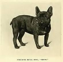 grown white french bulldog. Perfect Bulldog French Bulldog Inside Grown White