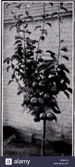 Catalog of fruit trees vines, ornamentals, etc.. Nurseries (Horticulture),  North Carolina, Pomona; Nurseries (Horticulture), Catalogs; Fruit trees,  Catalogs; Evergreens, Catalogs; Shrubs, Catalogs; Roses, Catalogs; Nut  trees, Catalogs. Fruits and ...