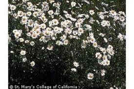 Plants Profile for Leucanthemum vulgare (oxeye daisy)