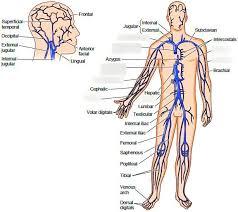 Systemic Veins Diagram Quizlet