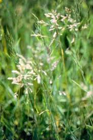 Grass Identification Chart Uk Weeds Grass Weeds Information And Photo Gallery Grass
