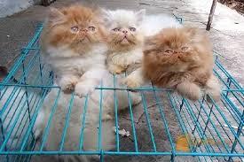 Bisnis Kucing Ternyata Menyenangkan dan Menjanjikan