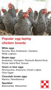 What to Ask When Picking Up New Chicks   Backyard Breeds   Chickens ...