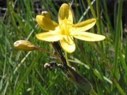 Sisyrinchium acre - Native Plants Hawaii - Viewing Plant