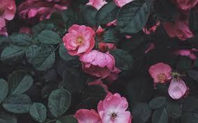 wild rose hd wallpaper