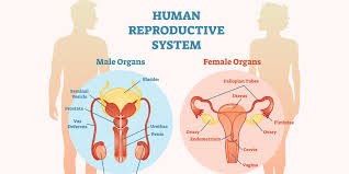The broad ligament is the inclusive term for the mesovarium, mesosalpinx, and mesometrium that suspend the support the uterus and varies structures on their respective sides. Reproductive Health