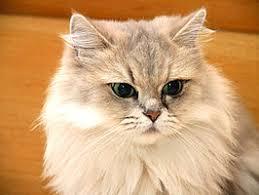 Leeftijd perzische kat