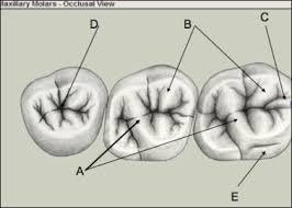 Maxillary Second Molar Maxillary Molars Blackboard Quiz Dentistry 1512 With Smith Morrow