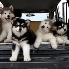 cute baby husky tumblr. Wonderful Cute Ilovedogs And Cute Baby Husky Tumblr