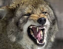 Image result for ravaging coyotes
