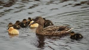 Afbeeldingsresultaat voor watervogel