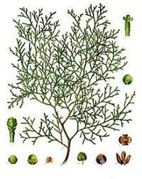 Tetraclinis articulata - Wikipedia
