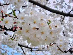 Best 25 Prune Fruit Ideas On Pinterest  Pruning Fruit Trees When Do Cherry Trees Bear Fruit