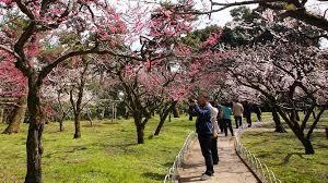 Japanese <b>Plum</b> (ume) <b>Blossoms</b>