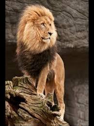 Dessin Dessin Professionnel D Animaux Amazing Dessin Professionnel D Animaux Dessin De Lion Et Lionceau L