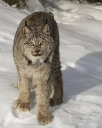 lynx size canada lynx showing us his huge paws stock image image of mammal