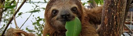 Species Profile: Brown-Throated Three-Toed <b>Sloth</b> (Bradypus ...