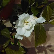 gardenia august beauty in the gardentags plant encyclopedia