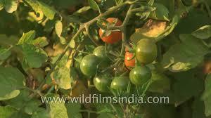 Kitchen Garden In India Cherry Tomatoes Grow In An Indian Kitchen Garden Youtube