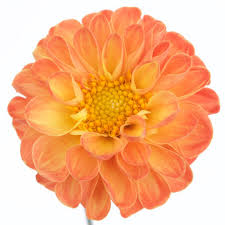 colored pictures of flowers. Wonderful Pictures Tangerine Yellow Dahlia Flower Intended Colored Pictures Of Flowers E