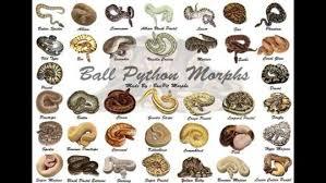 Ball Python Morph Chart Ball Python Morph Chart Google Search Ball Python Ball