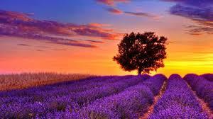 Kết quả hình ảnh cho Cây oải hương trên tuyến đường Provence-Alpes-Côte d'Azur, Pháp