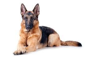 <b>German</b> Shepherd Dog Dog Breed Information