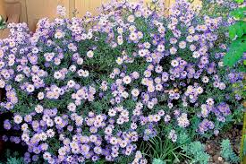 fall garden flowers. New England Asters Bloom In Shades Of Purple Lavender Pink Or White. Fall Garden Flowers