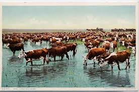Image result for pictures of driving cattle