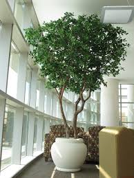 artificial black olive tree at kennesaw georgia school