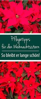 Pflegetipps Für Den Weihnachtsstern Pflanzen Und Blumen