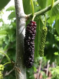 Facts About Mulberry Trees Why These Trees Were BannedMulberry Tree No Fruit