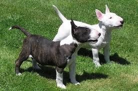 best small dog breeds for kids miniature bull terrier
