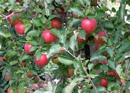 8 Trees And Shrubs With Showy Fall Fruit  Fine GardeningWhat Fruit Trees Grow In Michigan