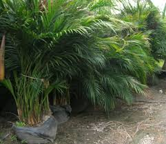 Cat palm mature size