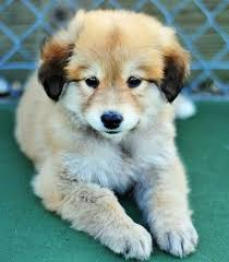 german shepherd golden retriever husky mix. Wonderful Golden Golden Retriever Husky German Shepherd Mix Puppy Cute For Mix L