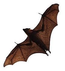 Bat Species Chart Pteropus Wikipedia