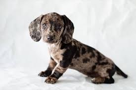 dapple dachshund size color