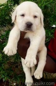 beautiful lab puppies for in jubilee hills hyderabad pets on hyderabad quikr clifieds